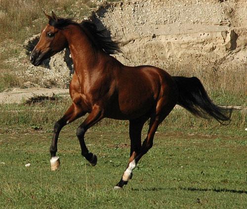 Precision MAF - Pure Polish Arabian bay stallion   500 x 423 jpeg 78kB